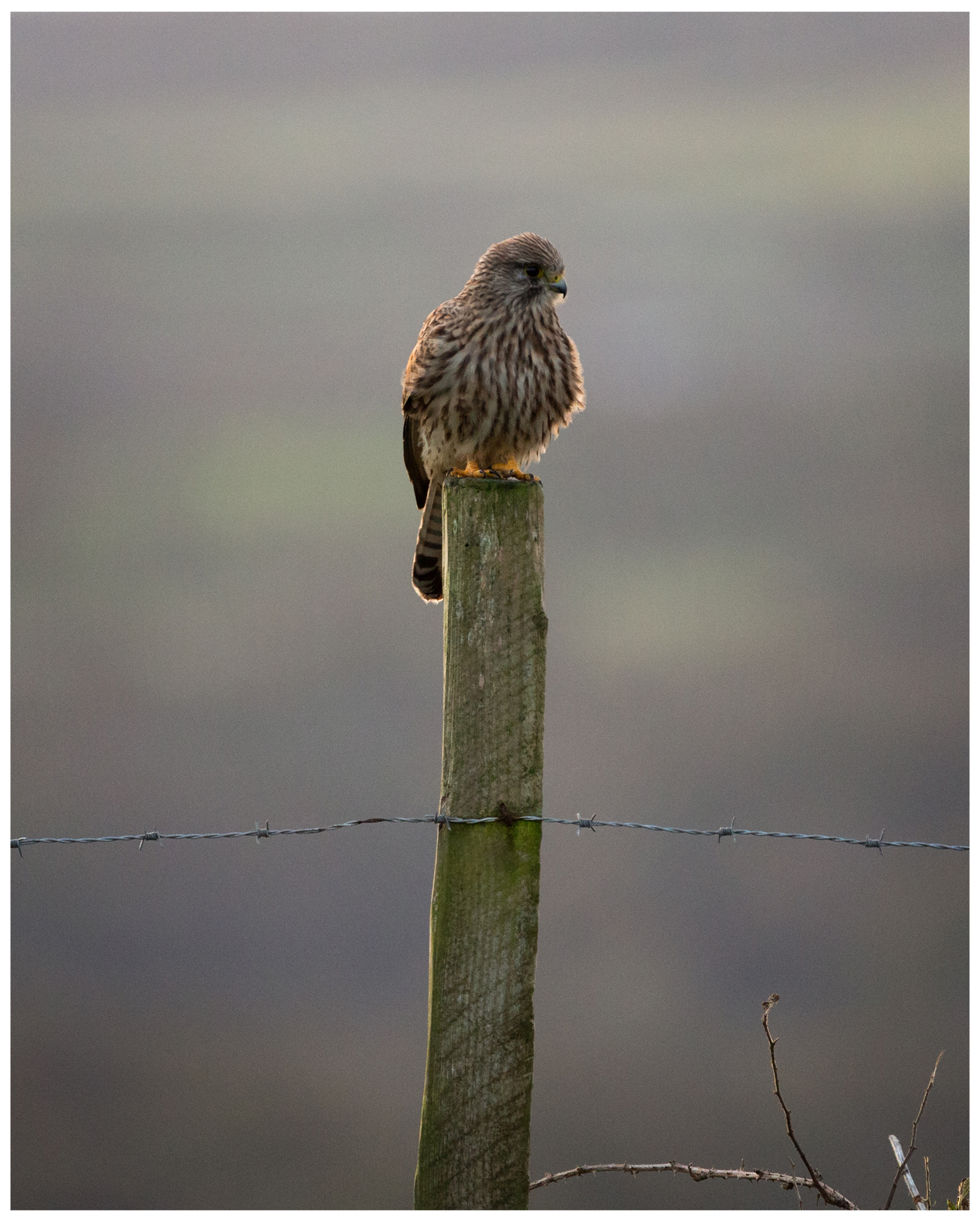 Always loved birds and especially birds of prey, so I'm fortunate to see Kestrels and Buzzards regularly up Carn Marth