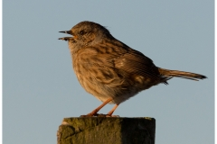 The smaller birds have evaded me somewhat up Carn Marth.  I'm not sure if it is the exposed nature or if they are easily spooked but this Dunnock was happy to pose for a few minutes on this post in the morning sun.