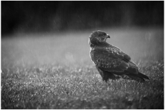 On approaching Carn Marth I walk up 'Cal Hill.'  In one particular field I have seen as many as a dozen Buzzards all feeding on worms.  I liked this shot of the gentle rain and the Buzzard seemingly unfazed by it.