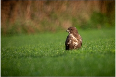 Buzzard enjoying the morning sun after the rain.