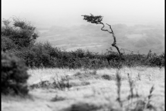 I've photographed this tree many times, but this particularly afternoon there was a thick drizzle that helped diffuse the background and highlight this tree.  It's amazing how this Windswept Hawthorn is still alive.  Open to the elements but hanging on.