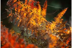 For a short time the bracken in places displays some wonderful reds and oranges whilst in transitions from the lush summer greens to the winter browns.
