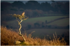 A Buzzard enjoying the last of the afternoon sun