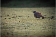 Kestrel early morning hunting for worms.  I stood for ages as this Kestrel which I have seen many times happily hunted in this field and returned to the posts that line the perimeter.