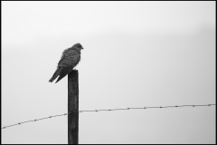 This Kestrel was hunting for worms for ages returning to the posts that line the perimeter.