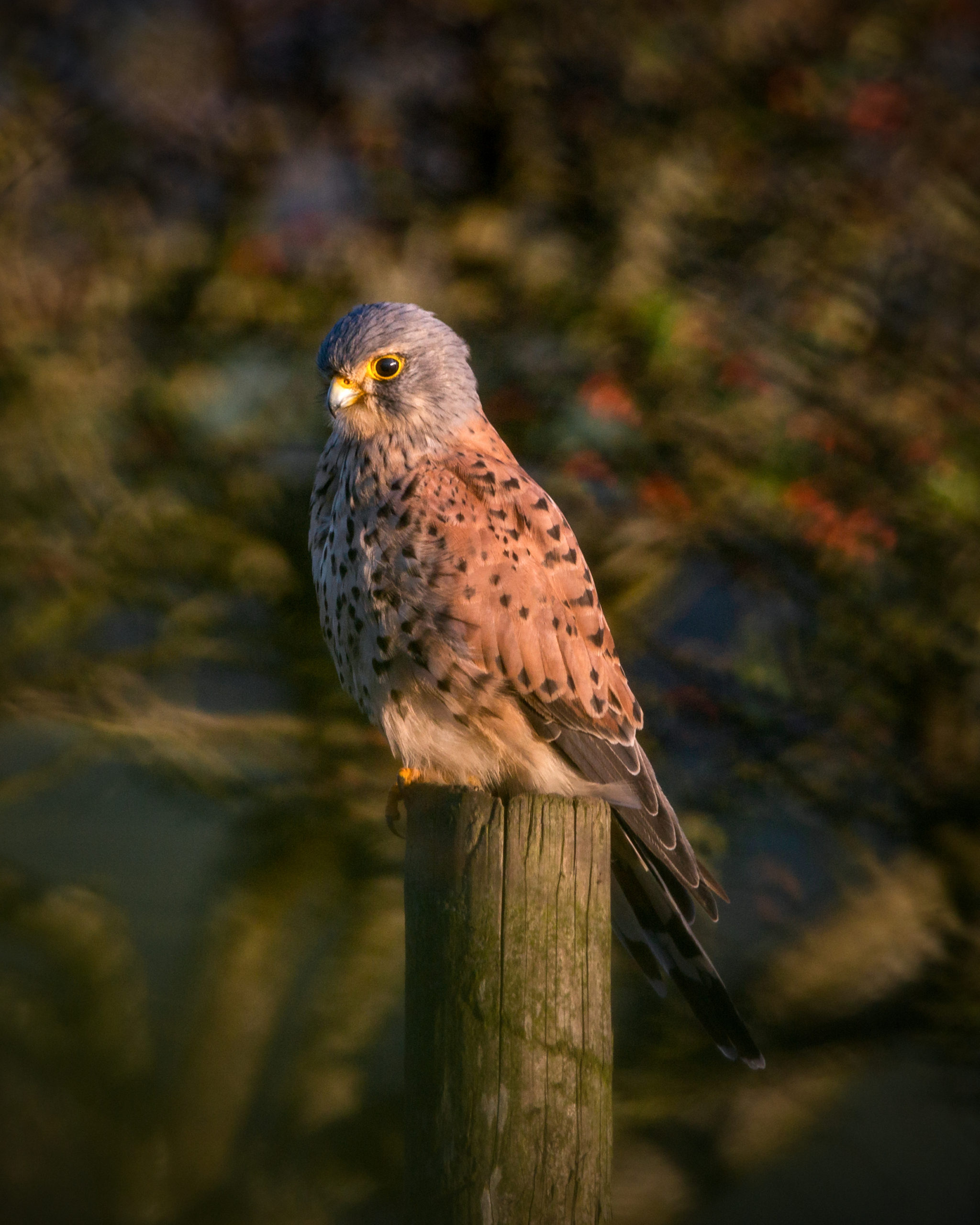Kestrel, Carn Marth