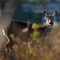 Roe Deer, Carn Marth