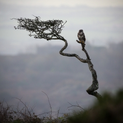Buzzard on Tree