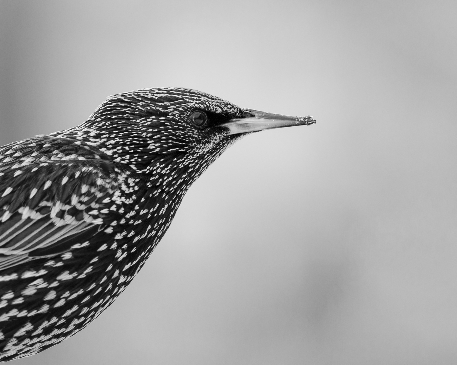 As the year progressed I seemed to take more and more wildlife shots.  This Starling was captured in St. Ives.