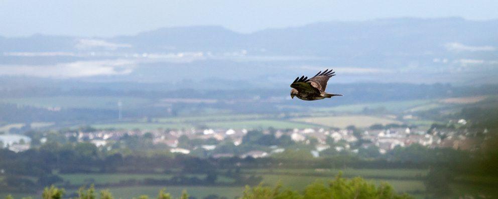 Buzzard hunting