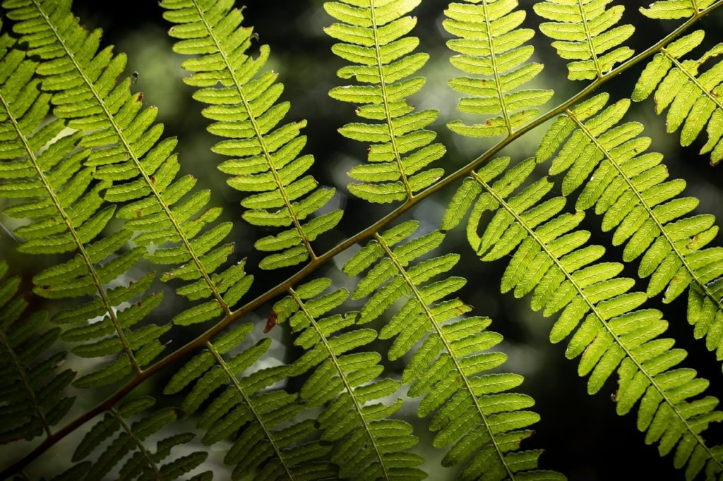 Bracken leaves, Idless Woods